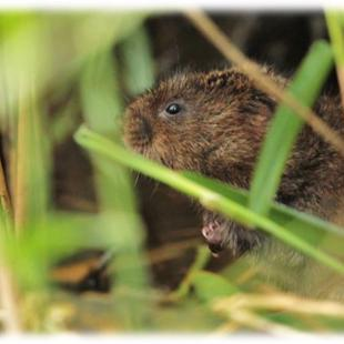 Image of a water vole